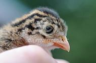 Parelhoen kuiken (Numida meleagris)