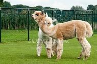 Vechtende alpaca hengsten