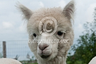 Close up alpaca kop