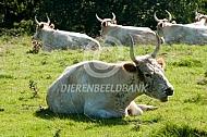 Chillingham koeien