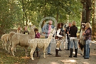 Wandelen met Lama's (Lama glama)