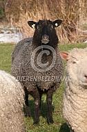 Gotland Pels schaap