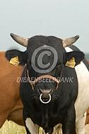 Dahomey stier met stierenring
