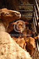 Coburger Fuchs met lammeren