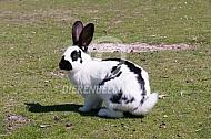 Lotharinger konijn