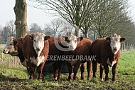 Hoornloze Hereford runderen