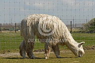 Grazende suri alpaca