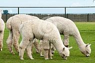 Grazende alpaca's