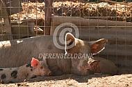 Scharrelvarkens met big