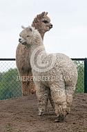 Alpaca's staan graag op een heuvel