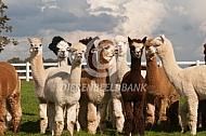 Gecastreerde alpacahengsten