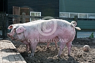 Lookalike  Nederlands landvarken
