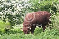 Rode geus in natuurgebied (stier)