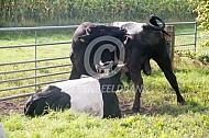 Lakenvelder stier en koe