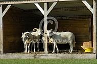 Wiltshire Horn in de Levende Have schuilstal