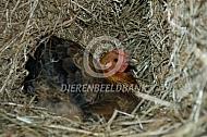 Wyandotte kriel legt een ei