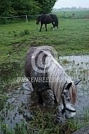 Murakoz, het Hongaarse trekpaard