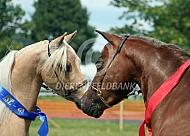 Amerikaanse miniatuurpaarden op keuring