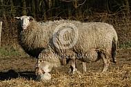 Kempisch Heideschaap met pasgeboren lam