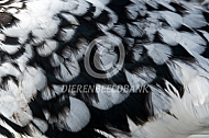Kleurslag zwartbont