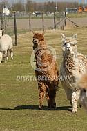 Rennende Suri alpaca