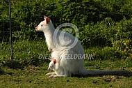 Albino Bennettwallaby