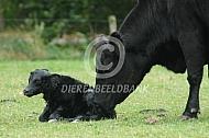 Aberdeen Angus met pasgeboren kalf