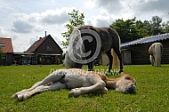Amerikaanse minipaarden veulen