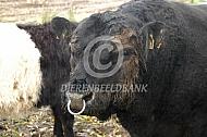 Stier van de Belted Galloway