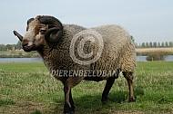 Shetlandschaap ram