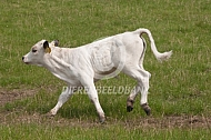 White Park cattle, rennend kalf