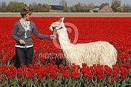 Alpaca tussen de tulpen