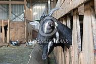 Poitevine geit met horens