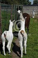 Twee jonge lama's (Lama glama)