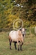 Ram van het Maasduinenschaap