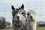 Close up suri alpaca
