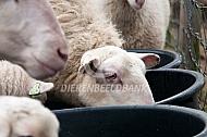 Veluwse heideschapen drinken water