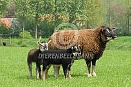 Texelaar (dassenkop)