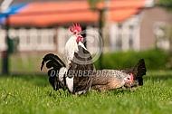 Hollandse kriel kraaiende haan en hen