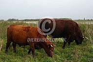 Rode geus koe en stier