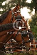 Paarden voor de koets