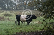 Belted Galloway stier