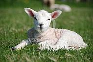 Lam ligt in het gras