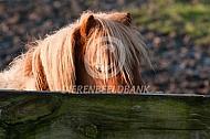 Shetlander pony achter een hek