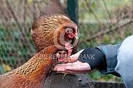 Welsumer kippen eten uit de hand
