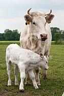 Charolais koe met kalf