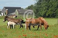 IJslander paarden