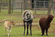 Alpaca met hertachtigen
