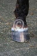 Paardenhoef