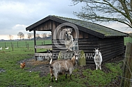 Nederlandse Landgeit voor de stal